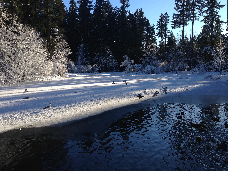 カナダのバーナビー市のセントラルパーク。雪と凍った湖のある公園と野鳥たち。