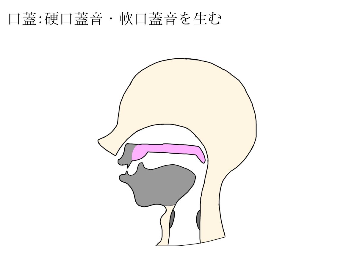 音声器官の説明図(自作)