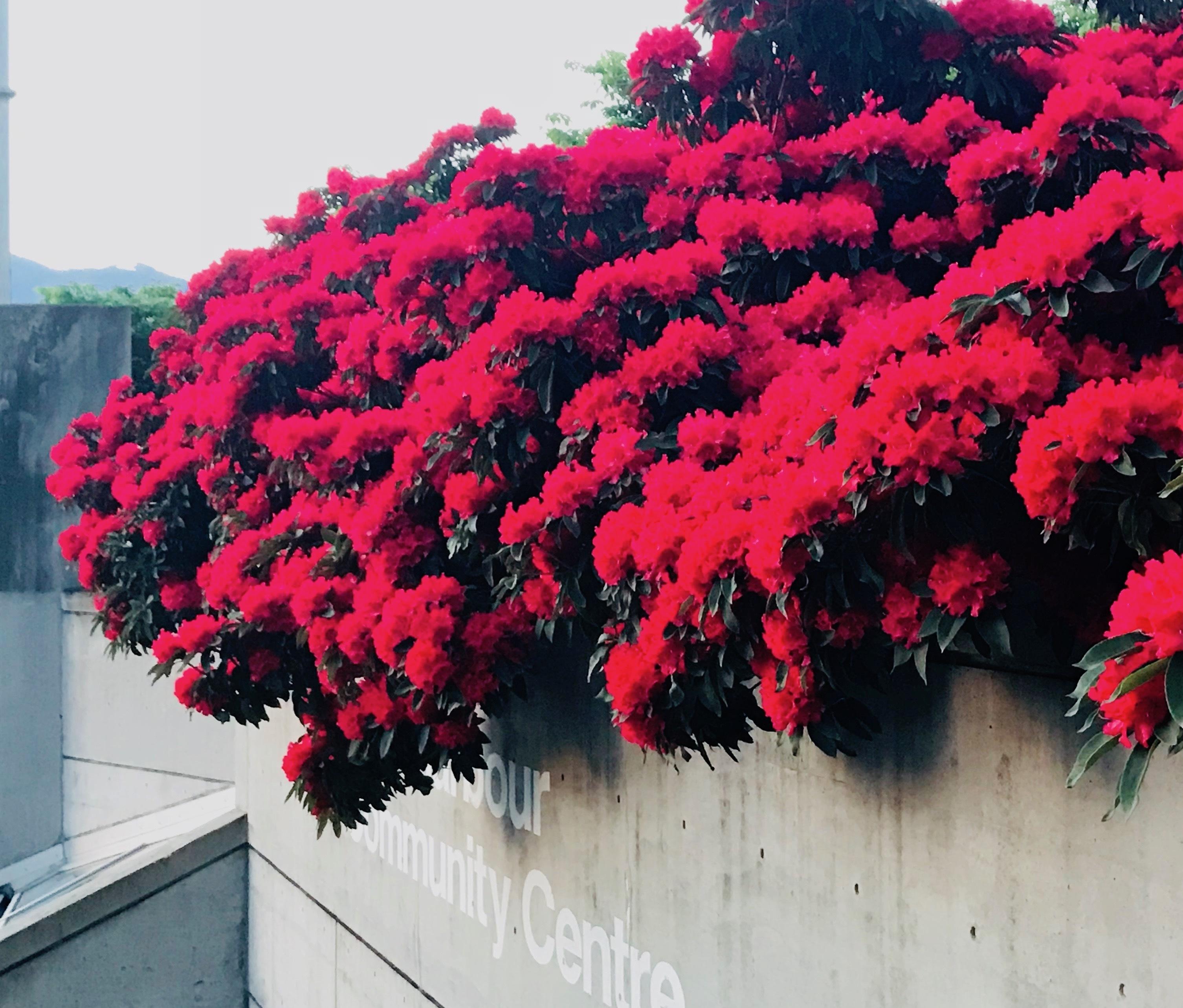 燃えるように真っ赤なツツジの花木です。