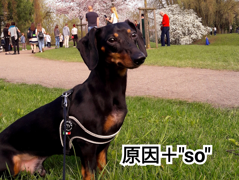 犬の写真に「原因+so」という単語を入れた画像です