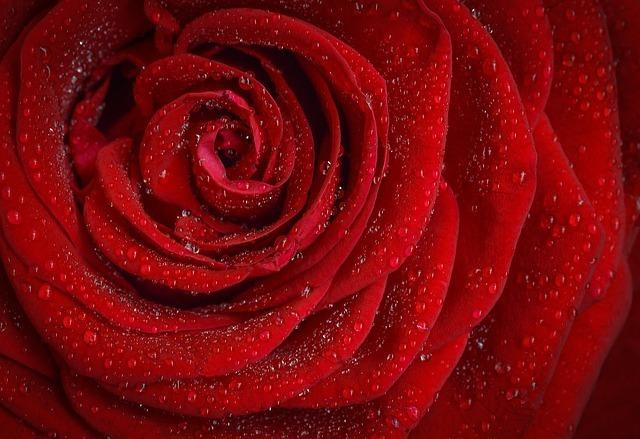 赤い薔薇のイメージです