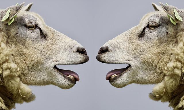 羊が向き合っている