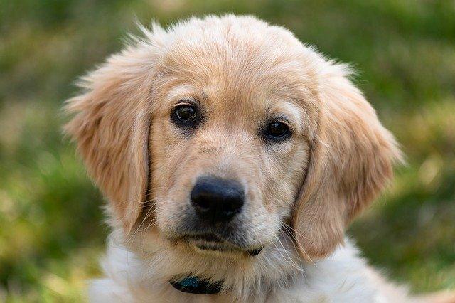 こちらを向いている犬の写真